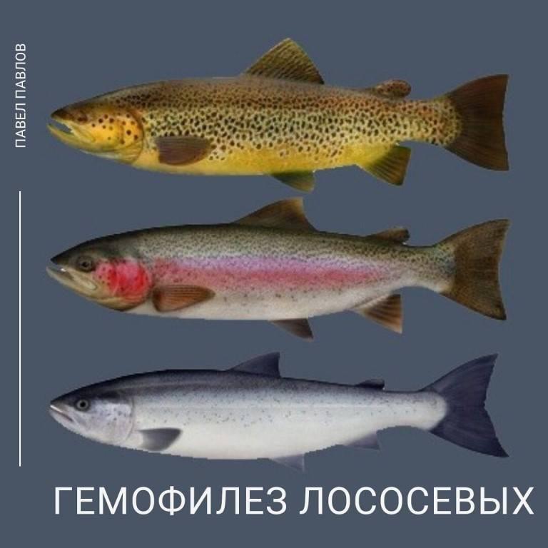 Палия — рыба вкусная. описание, рекомендации по приготовлению