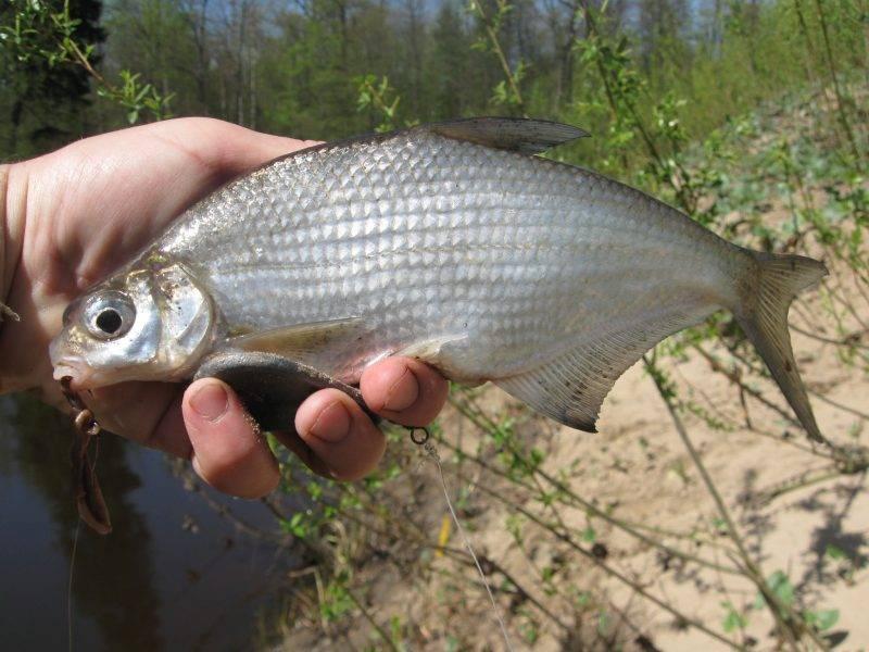 Рыба сопа - описание, питание, где водится и ловля сопы