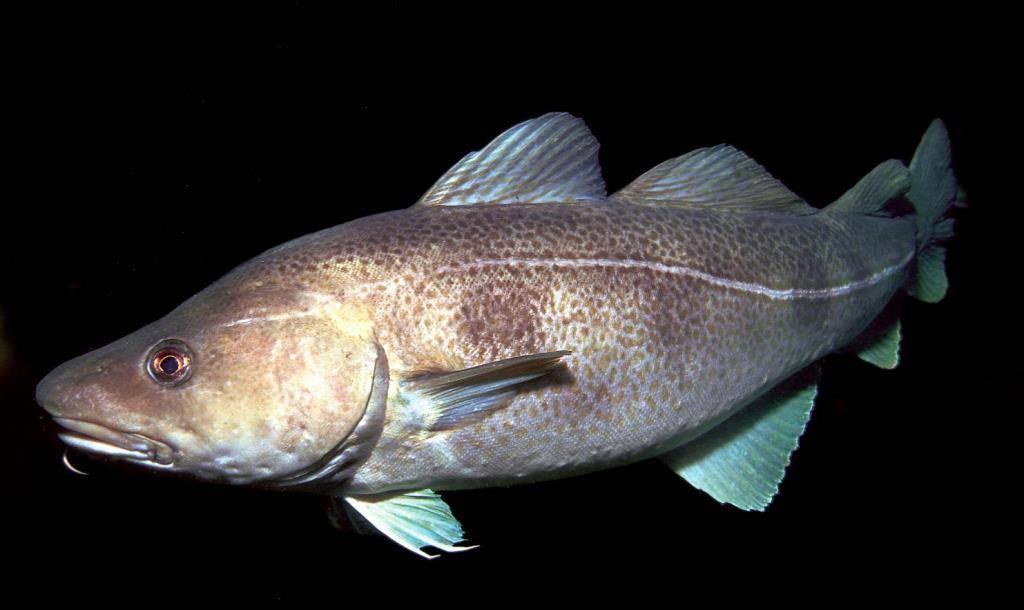 Треска рыба. образ жизни и среда обитания рыбы трески | животный мир
