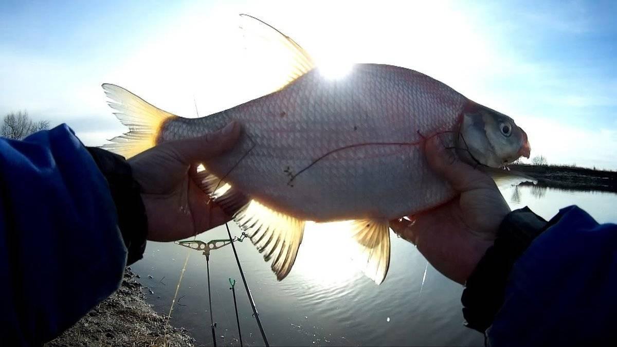 Лещ зимой 2020 года - ловля на течении, водохранилище, со льда: снасти для успешной рыбалки