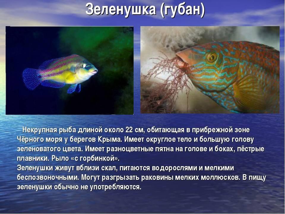 Ловля губанов или зеленушек в черном море