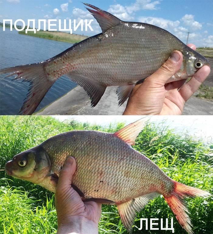 Опытные рыбаки рассказали, как отличить леща от гутсеры и подлещика