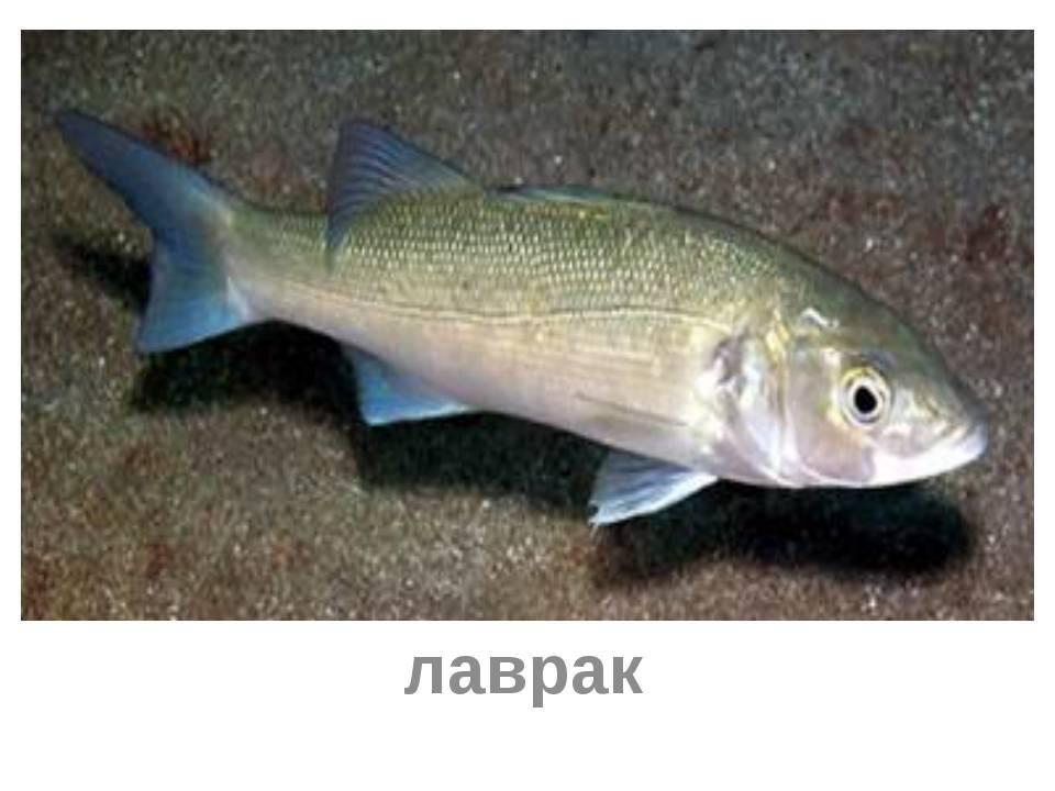 Рыба сибас или морской волк – описание, фото, среда обитания