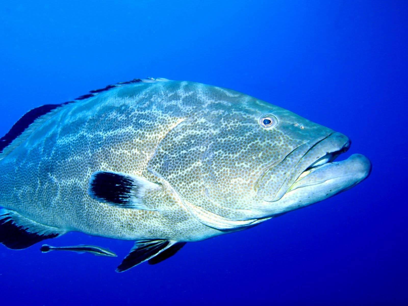 Химерообразные рыбы: ареал, внешний вид, размножение и образ жизни