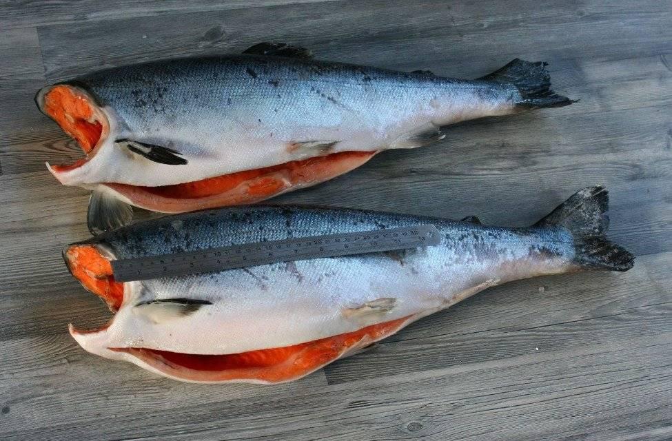 Рыба «Кижуч» фото и описание