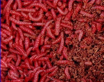 ✅ как окрасить опарыша в красный цвет и ароматизировать в домашних условиях - fishyarm.ru