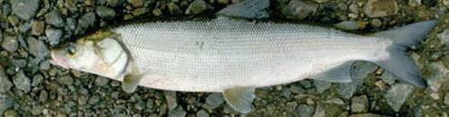 Рыба нельма — чем полезна и чем вредна   польза и вред
