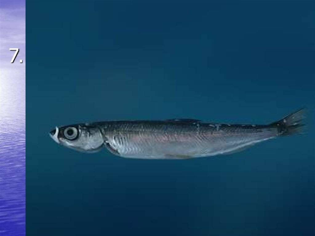 Рипус (рыбалка и способы приготовления)