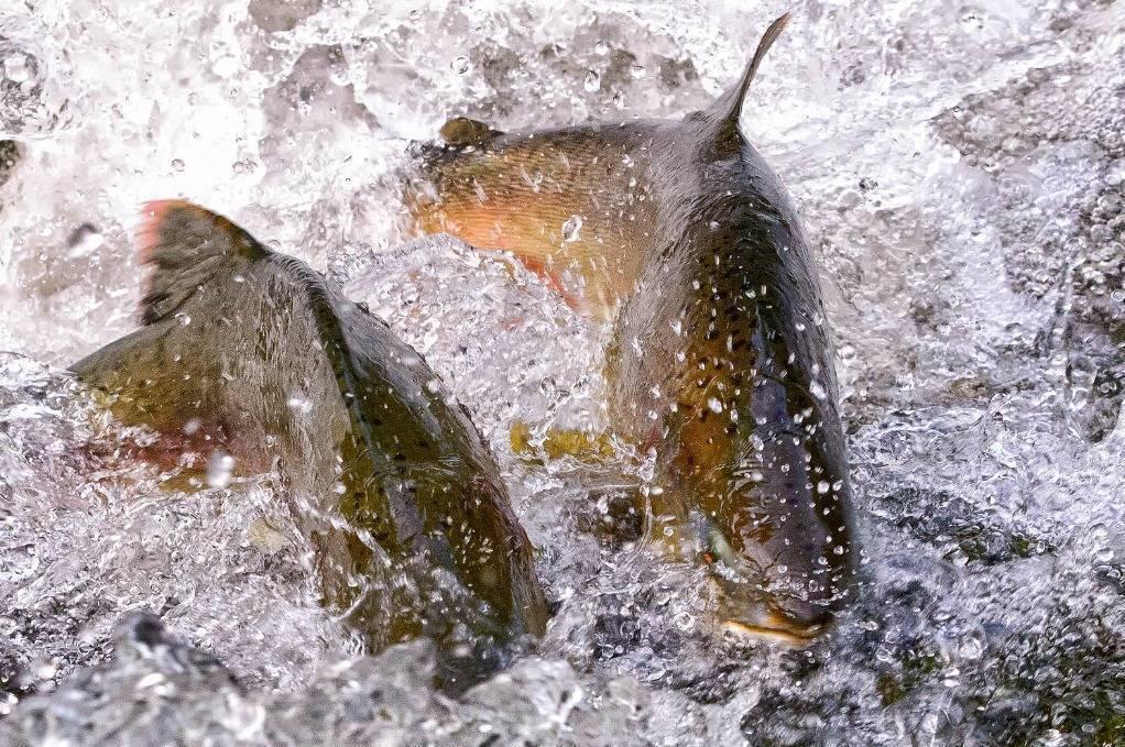 Рыба лососевых пород. виды лососевых и их описание