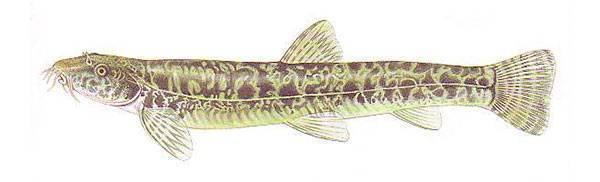 Рыба голец — фото и описание
