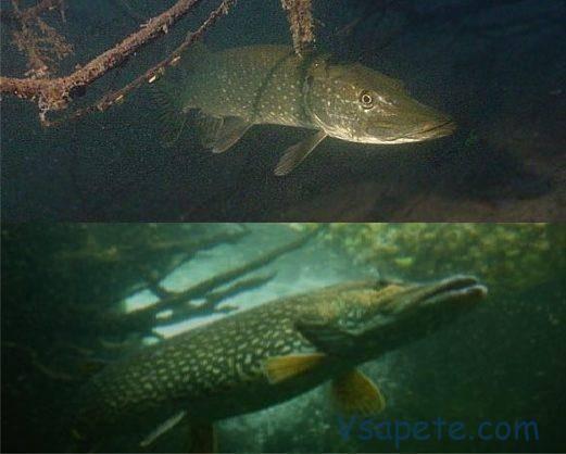 Щука рыба: как выглядит, где водится, когда жор и нерест щуки