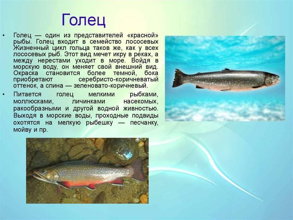Рыба шамайка: фото и описание, поведение, нерест, занесена ли в красную книгу