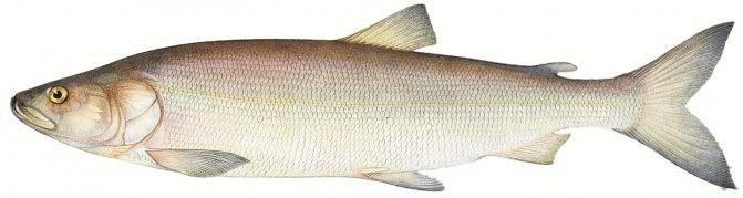 Рыба «Треска беломорская» фото и описание