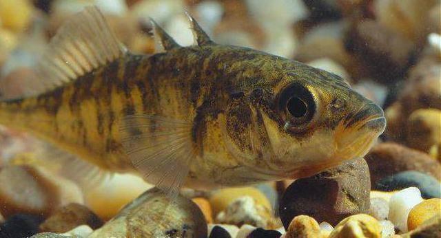 Рыбы иглы – это родственницы морских коньков