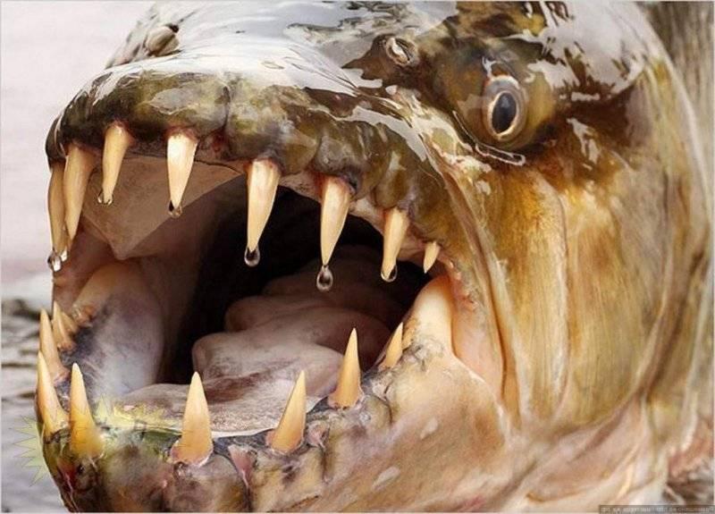 Хищный гидроцин— большая тигровая рыба