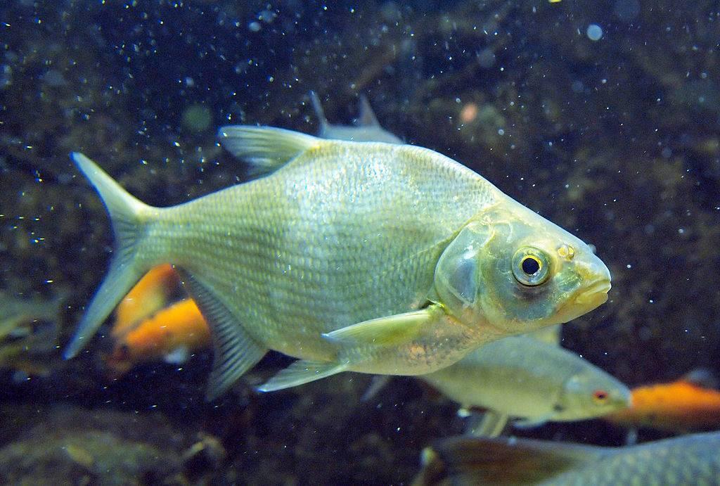 Рыба «Лещ» фото и описание