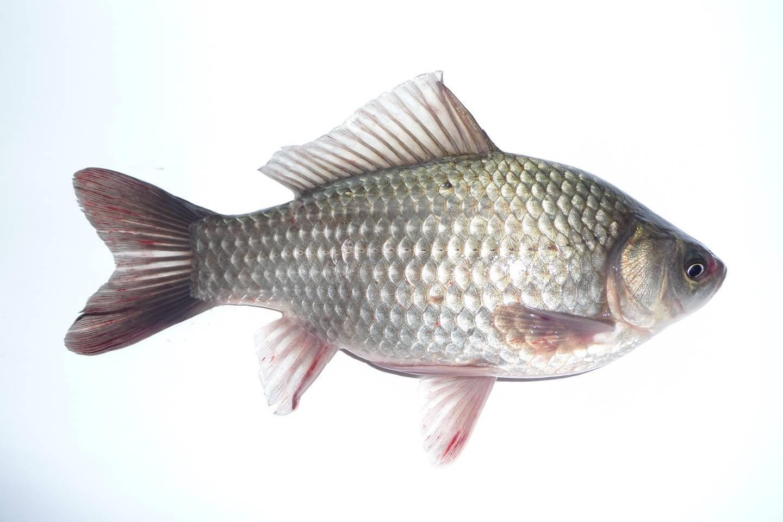 Карась рыба: описание, рецепты как приготовить и основы рыбалки