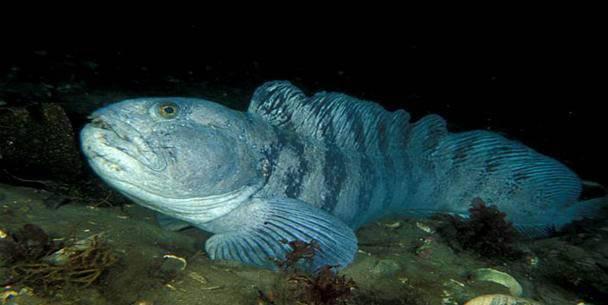 Рыба зубатка: описание, польза и вред для организма