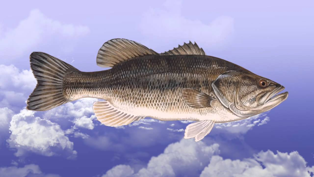 Описание рыбы сибас
