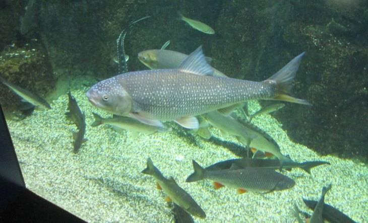 Рыба вырезуб: фото и описание, где водится, особенности ловли