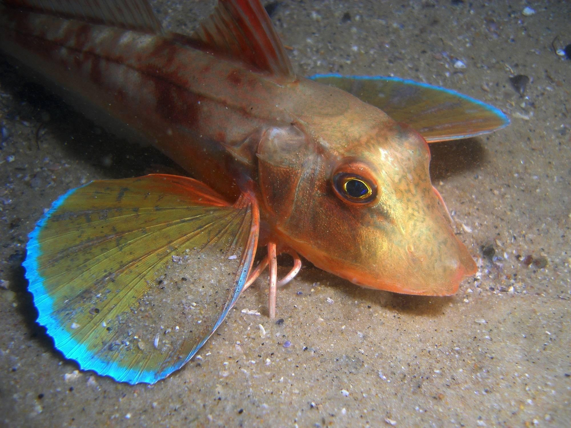 Рыбка пискун: описание и среда обитания, питание и различные виды вьюнка