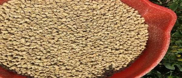 Пшеница подана — как приготовить корм для прудовой рыбы