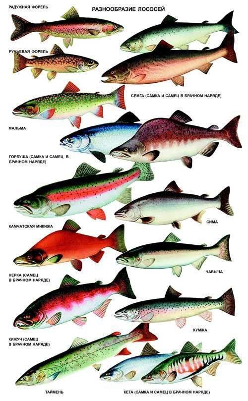 Рыба нерка: где обитает, полезные свойства и рецепты приготовления