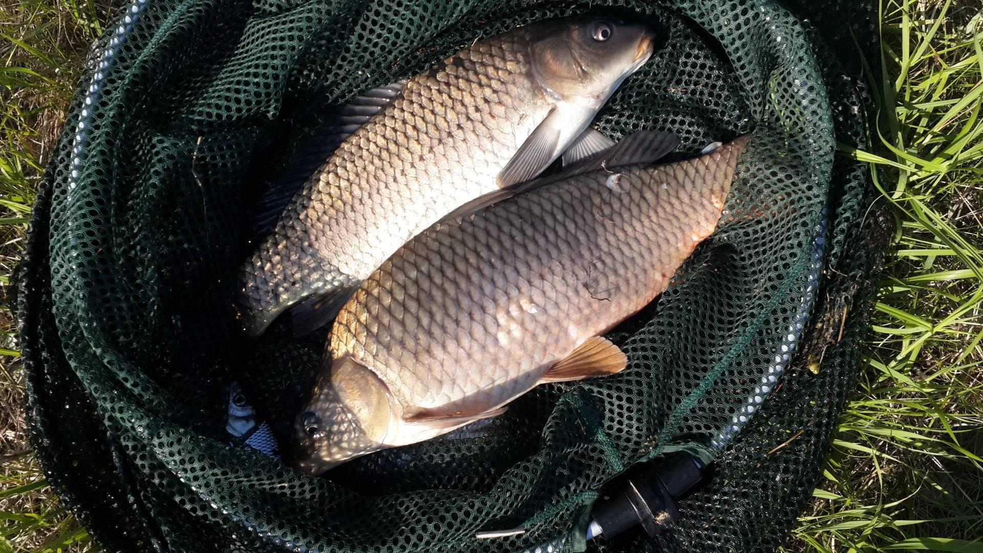 Firstfisher.ru – интернет-журнал о рыбалке и рыболовах.  ловим белого амура на спиннинг