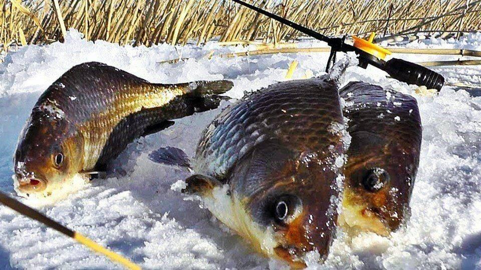 Ловля карпа зимой: как прикармливать и чем ловить рыбу