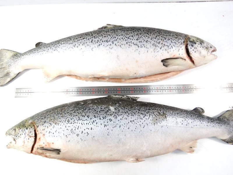Что лучше форель или семга? чем отличаются форель, семга, лосось
