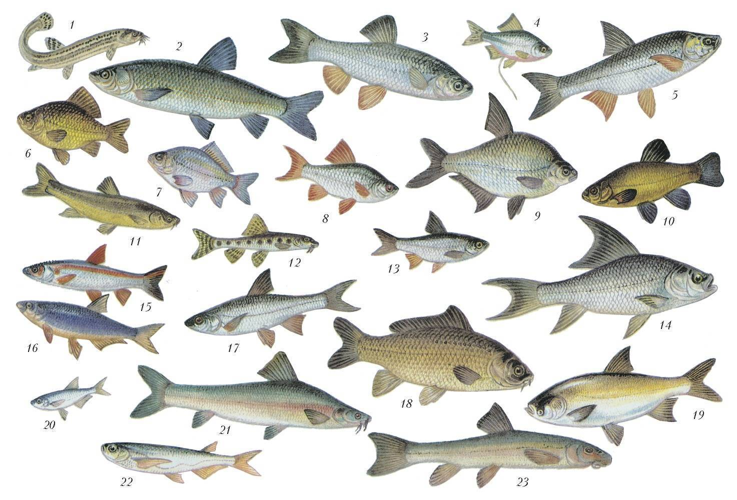 Речная рыба - список речных рыб, представители, особенности поведения, места обитания, рыбалка