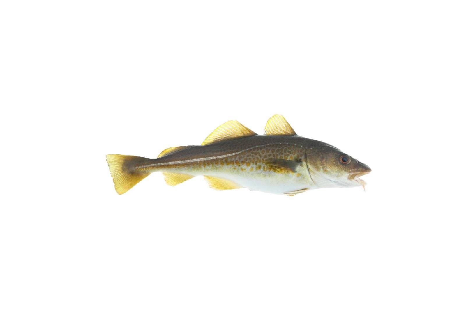 Промысловая рыба треска
