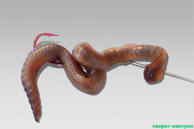 Как насадить червя на крючок правильно - видео и варианты насаживания