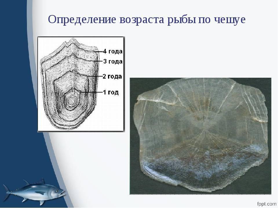Особенности определения возраста рыбы