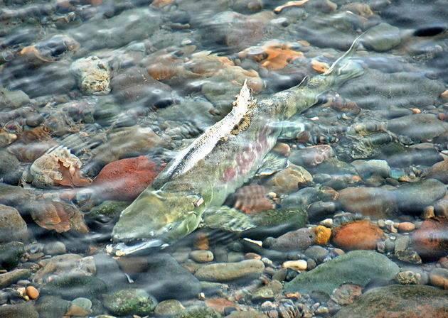 ✅ нерест горбуши: когда нерестится, в какое время идёт на камчатке, дальнем востоке и сахалине, что происходит после него - tehnoyug.com