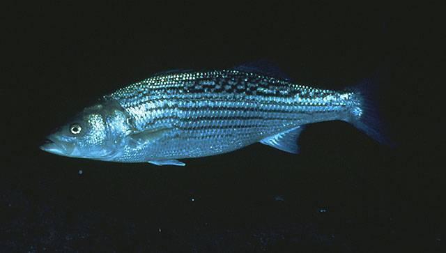 Ловля лаврака на спиннинг: приманки, места и способы ловли рыбы