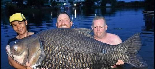 Самый большой карп – мечта рыболова  :: syl.ru