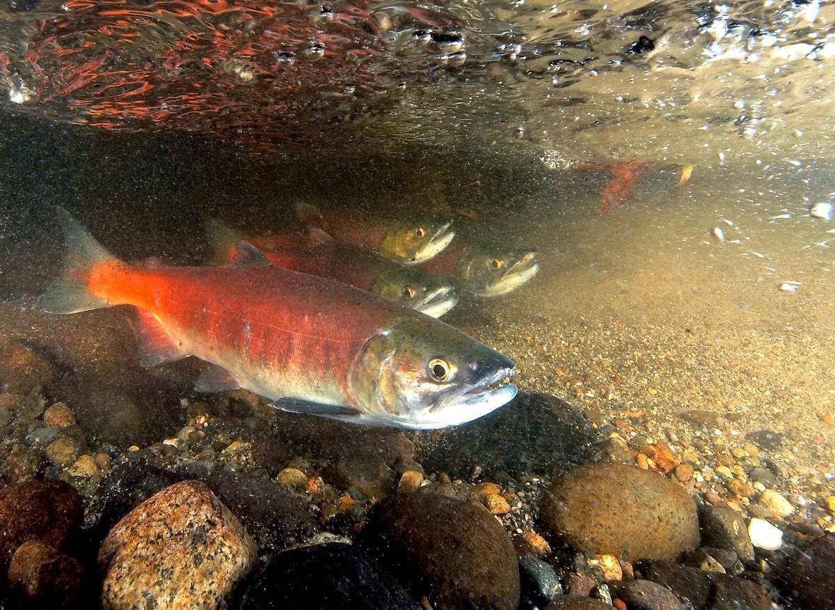 Рыба «Нерка» фото и описание