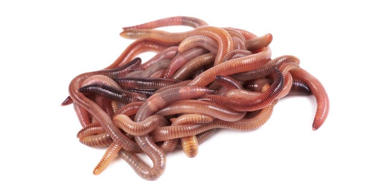 Как разводить червей для рыбалки