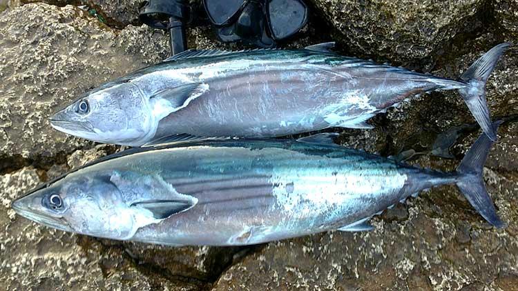 Пеламиды (рыбы) — википедия
