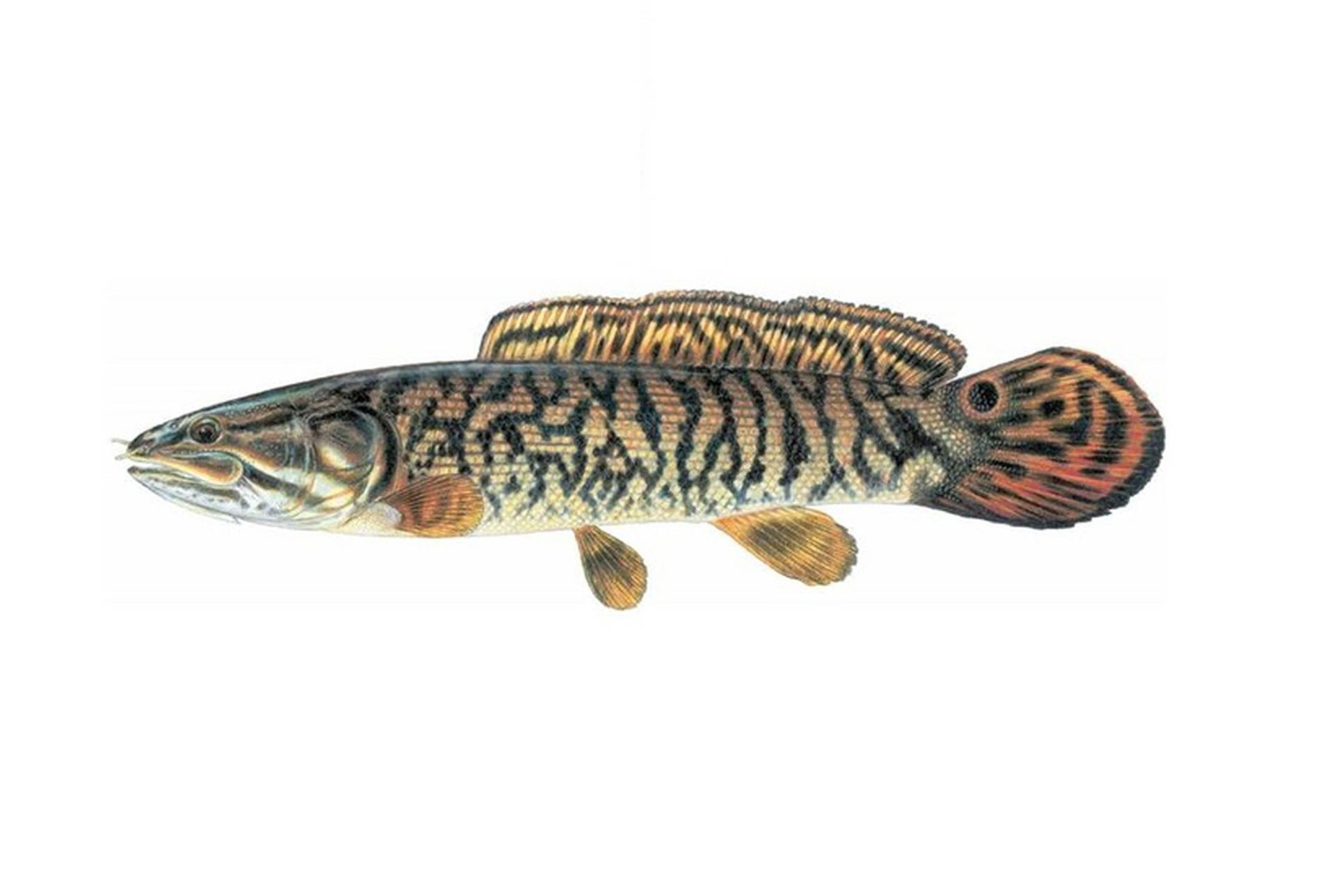 Ильная рыба - живое ископаемое