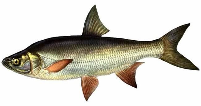 Жерех: рыба, фото, описание, где водится, как приготовить