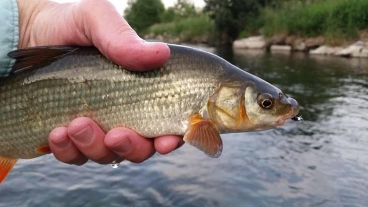 Рыба язь: 95 фото и описание как выглядит рыба. особенности пресноводной рыбы