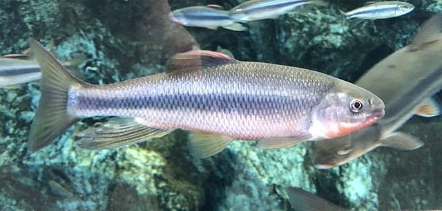 Красноперка: описание рыбы и отличия от плотвы