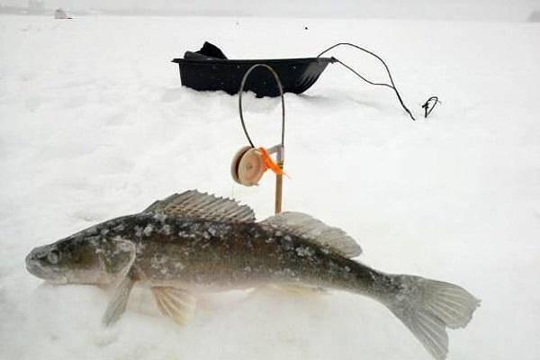 Ловля судака зимой на жерлицы видео