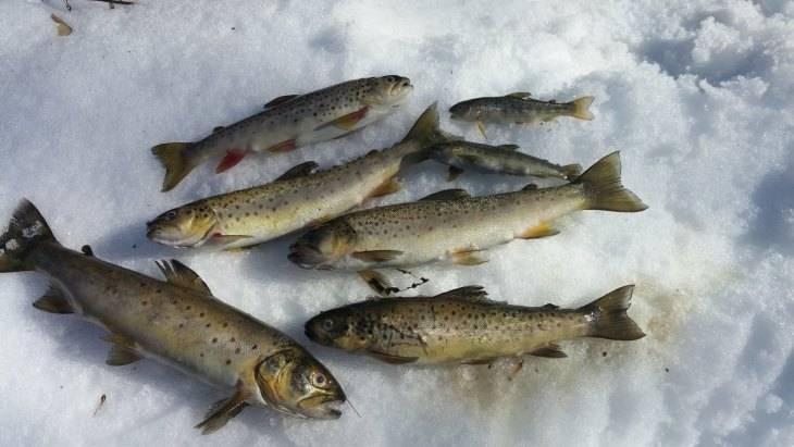 Балтийский лосось: особенности образа жизни и промысел