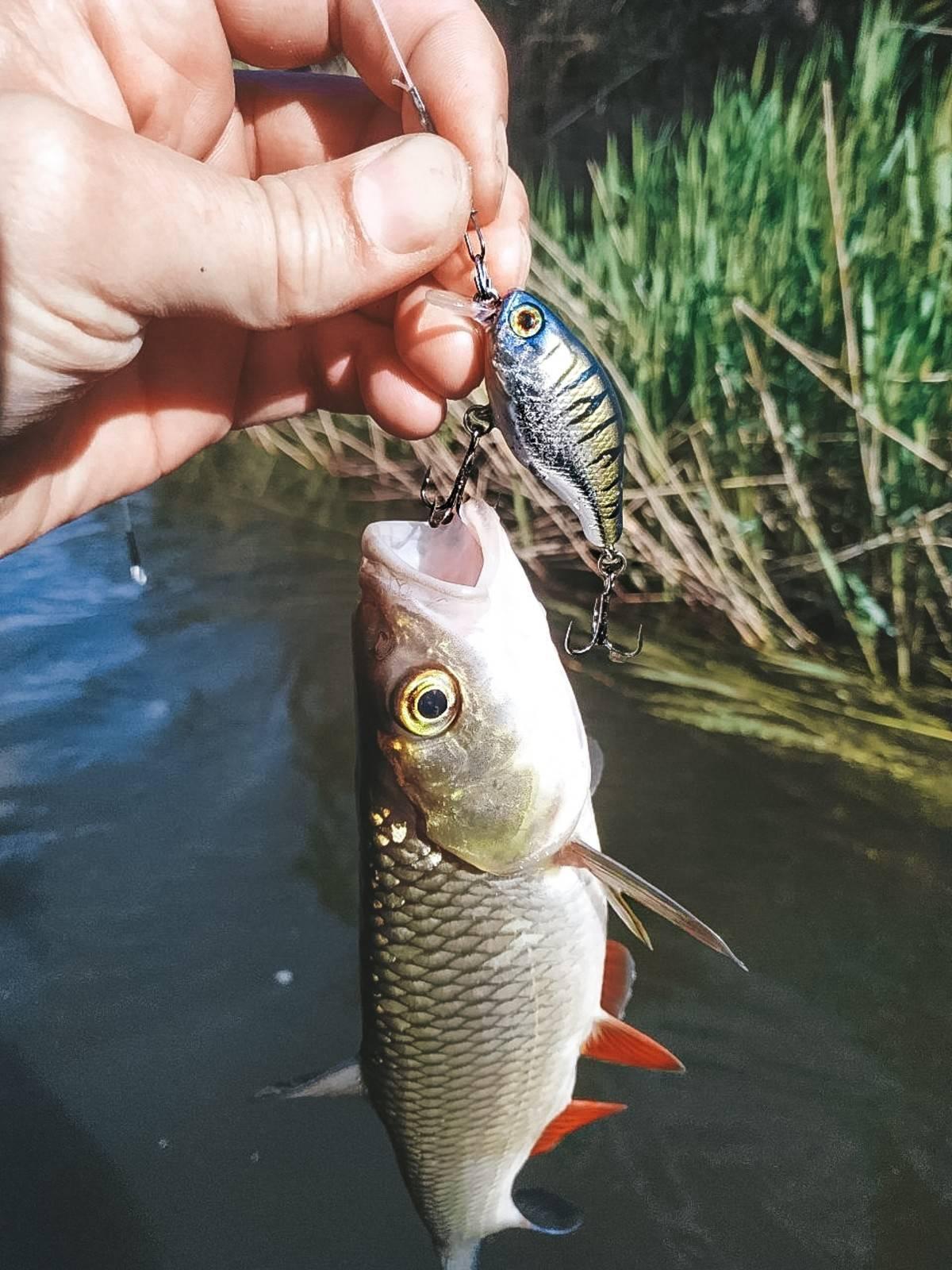 Ловля голавля на спиннинг на реках и озерах летом, весной и осенью