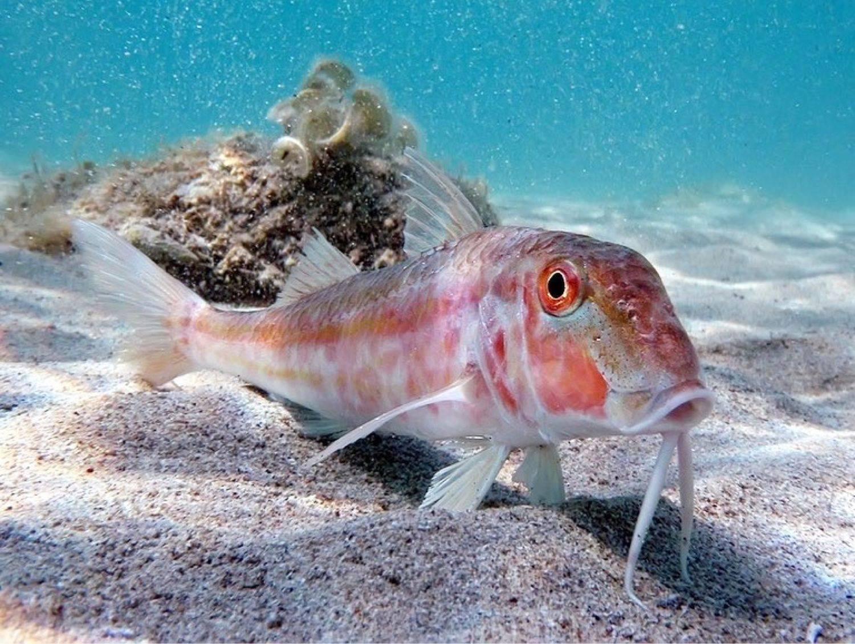 Полосатая барабуля – рыба, за которую платили серебром