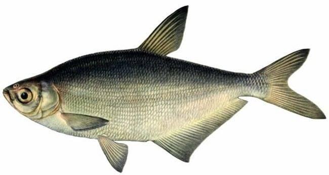 Рыба синец: описание внешнего вида с фото, обитание