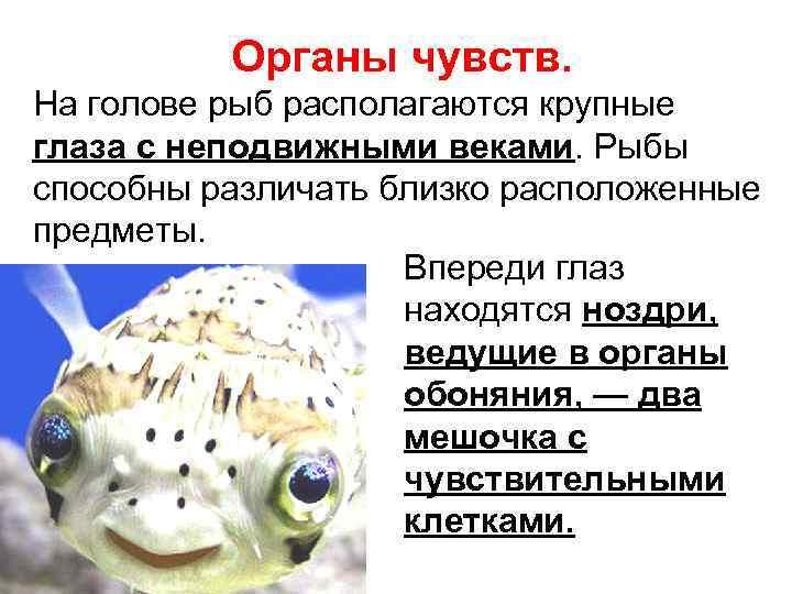 Строение рыб: описание,внешний вид,нервная система,кровеносная система | аквариумные рыбки